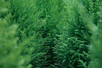 Evergreen Leaf