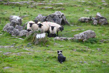 Sheep and dog on the grass among the rocks
