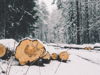 Winter forest with felled tree trunks in the foreground