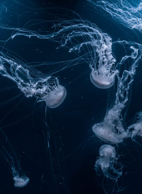 Group of jellyfishes that swims underwater