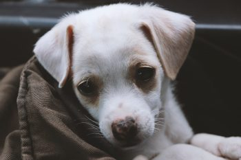 A close-up photo of a short-coated white puppy