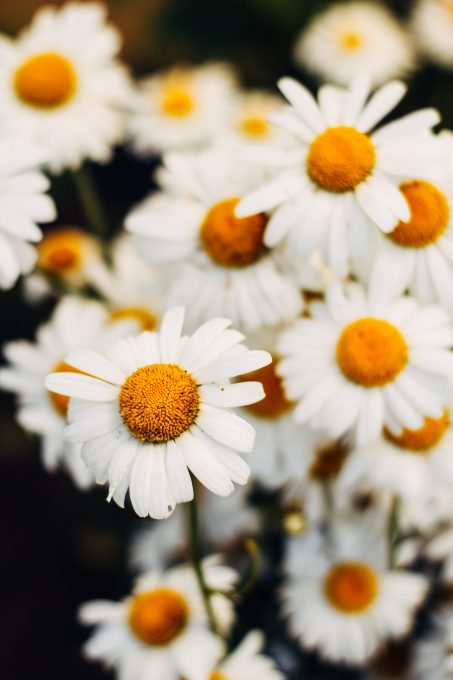 A close-up photo of white daisy flowers
