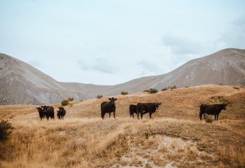 A herd of cattle on brown grass mountain under the white sky
