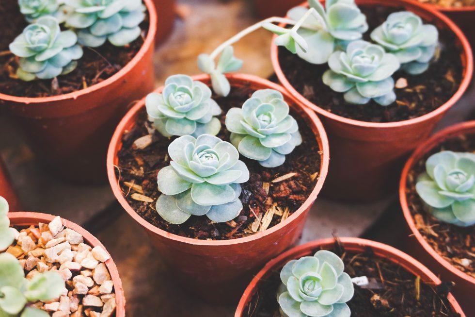 Green succulent flowers in pots