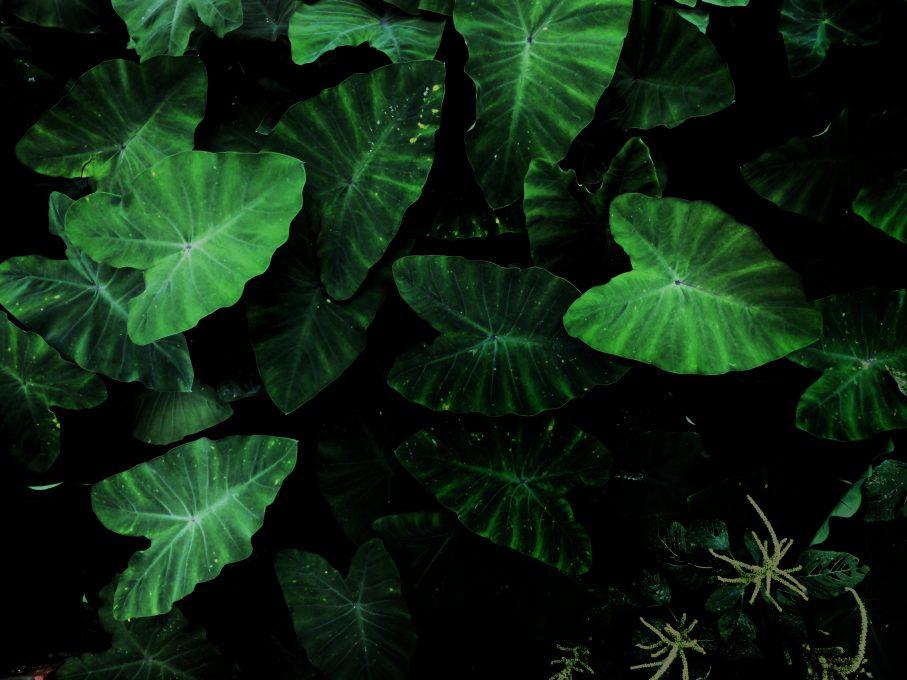 Green Taro plant