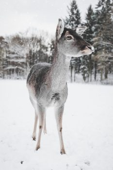 Photo of a baby deer standing at the edge of the winter woods