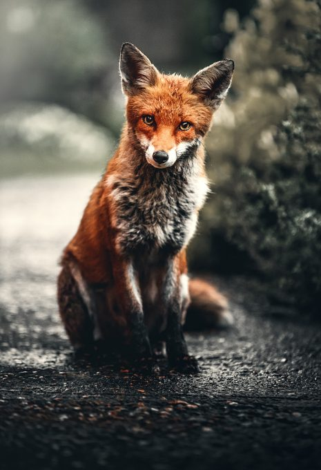 Photo of a red fox sitting on ground