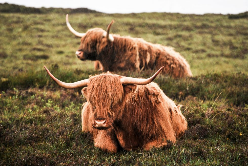 Two brown highland cows on a green grass field