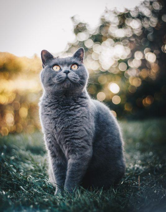 A British Shorthair cat sitting on a grass field