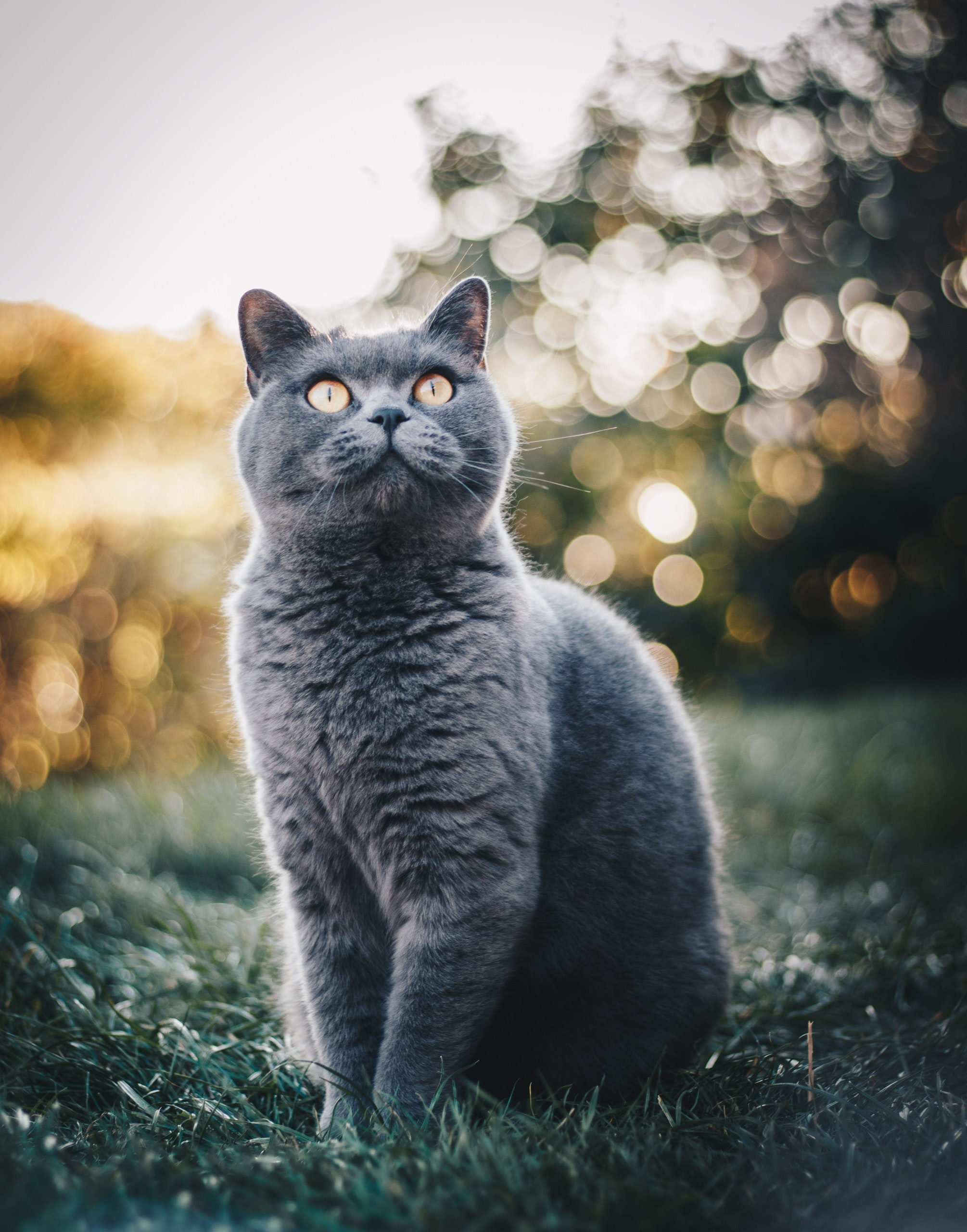 A British Shorthair cat sitting on a grass field
