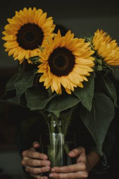 A person holding three common sunflowers in a vase