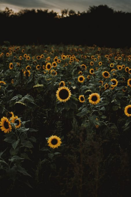 A sunflower field during dawn