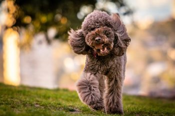 An adult gray toy poodle running on a grass field