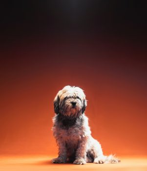 An adult white Shih Tzu sitting in front of an orange background