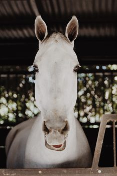 Close-up photo of a white horse