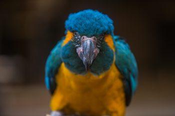 Close-up photo of an orange and blue macaw bird