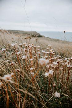 Close-up photo of white-petaled flowers beside a rocky sea coast