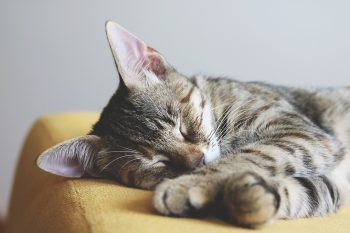 Close-up photography of a gray tabby cat sleeping on yellow textile