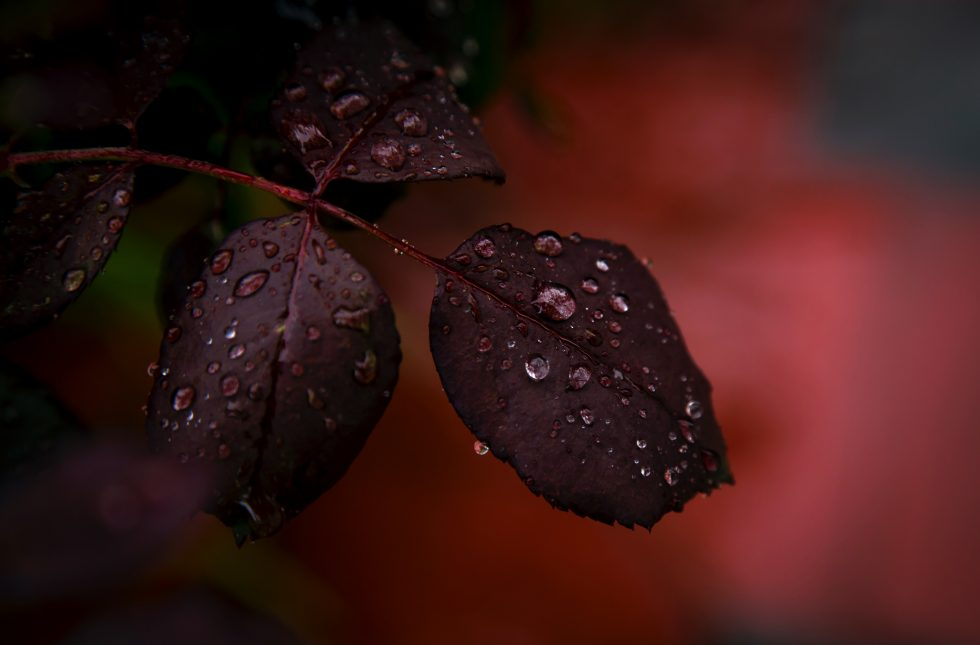 Close-up photography of a red plant with water droplets