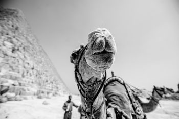 Grayscale photography of camels in front of the Egyptian pyramid