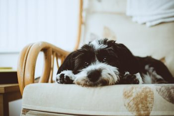 Low angle photo of a black and white Havanese lying on an armchair