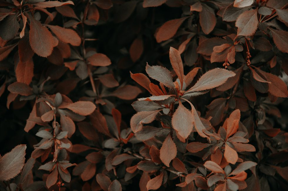 Photo of a plant with red and brown leaves