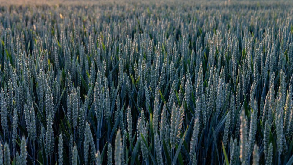 Photography of a wheat field