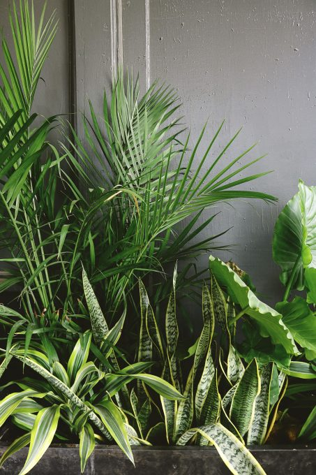 Snake plant beside taro and palm plant near a gray wall