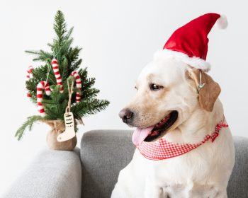 A dog with Christmas decorations sitting on a sofa