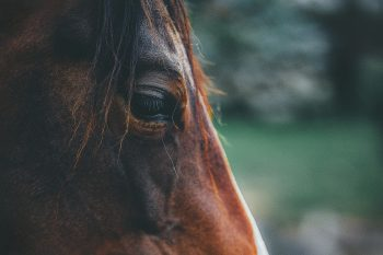 A brown horse in close-up photography