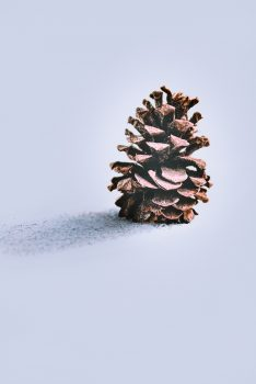 A brown pine cone on a snowfield