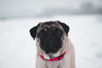 A Chinese fawn pug wearing a red collar standing on a snow