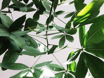 A green umbrella plant