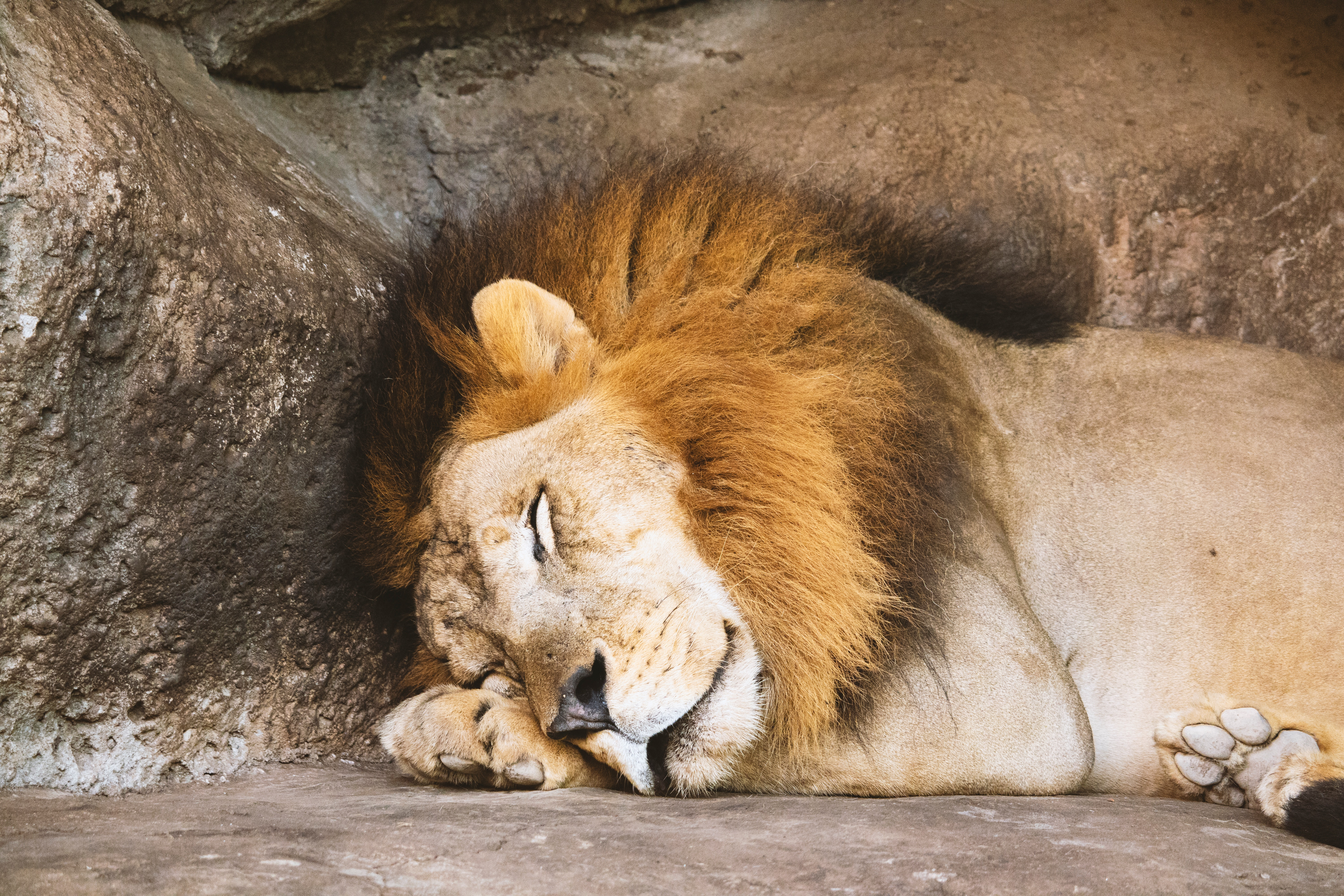 A lion sleeping beside a rock