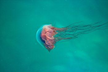 A pink jellyfish underwater