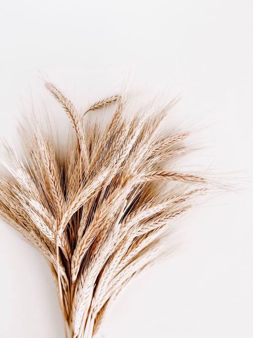 An armful of wheat ears on a white background