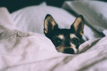 Close-up photo of a dog hiding behind a blanket