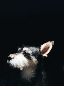 Close-up photo of a dog on a black background