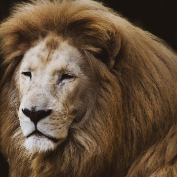 Close-up photo of a lion
