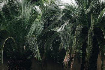 Green leaves palm tree