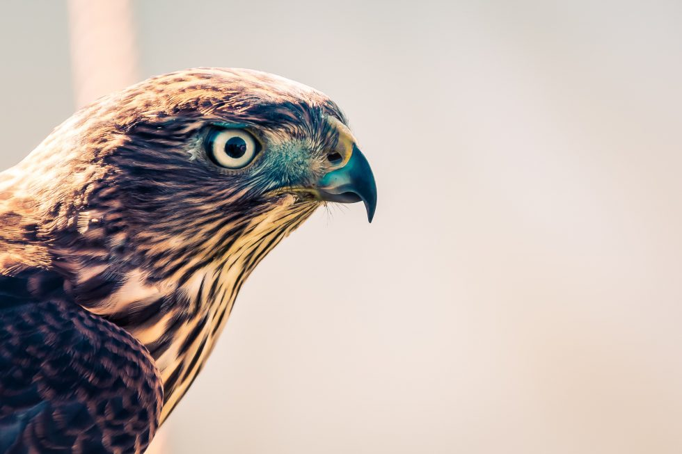 Selective focus photography of a falcon