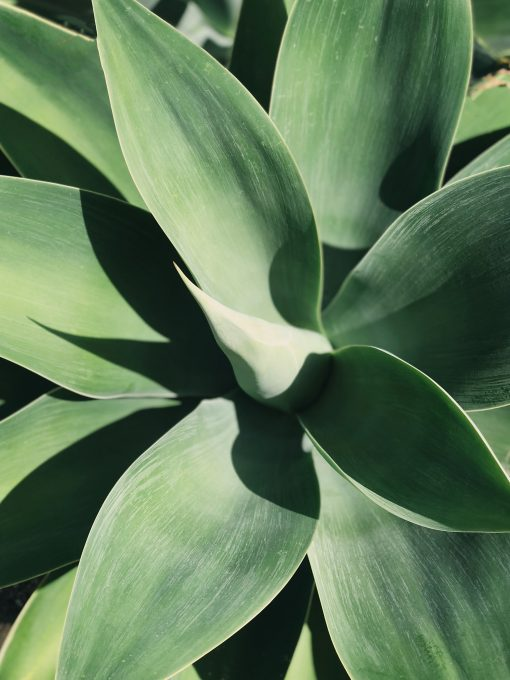 Top view photo of a linear green-leafed plant