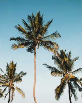 Coconut trees against the blue sky