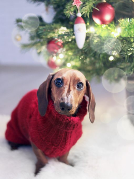 Dachshund dog wearing a red Christmas sweater