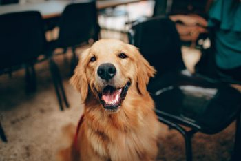 Photo of a short-coated tan dog
