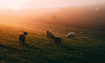 Photo of sheep on a field during golden hour