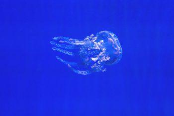 Underwater photo of a jellyfish