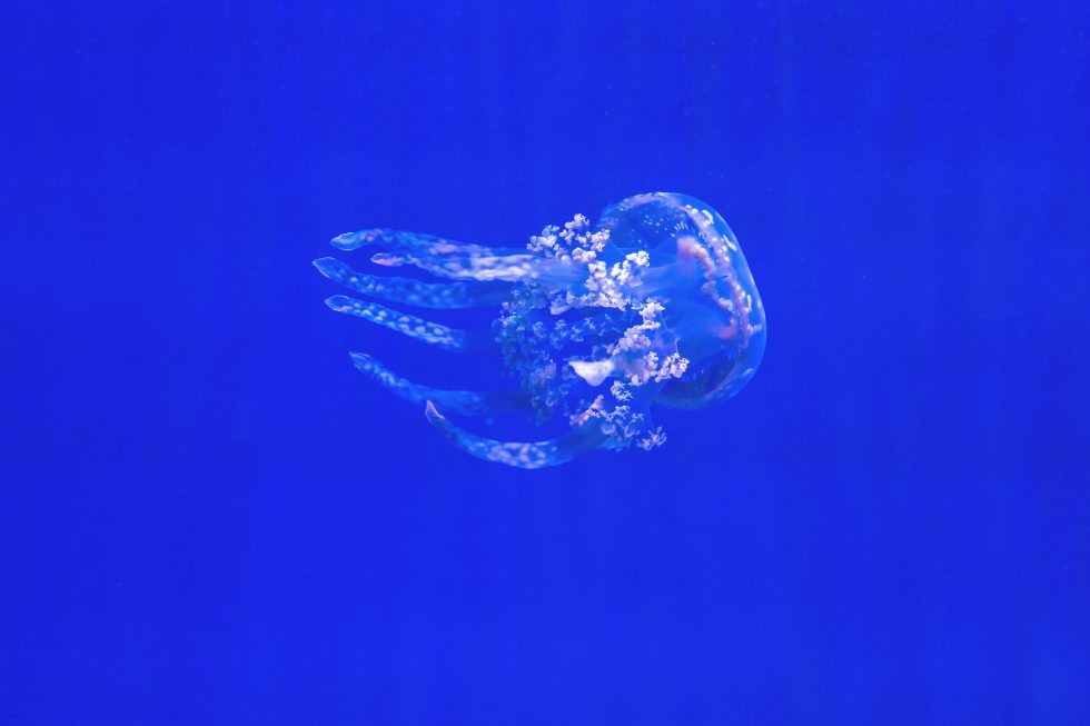Underwater photo of a jellyfish