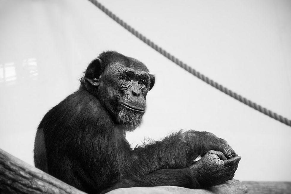 A grayscale photo of a chimpanzee
