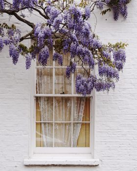 A purple blooming tree branch above a window of a white brick building